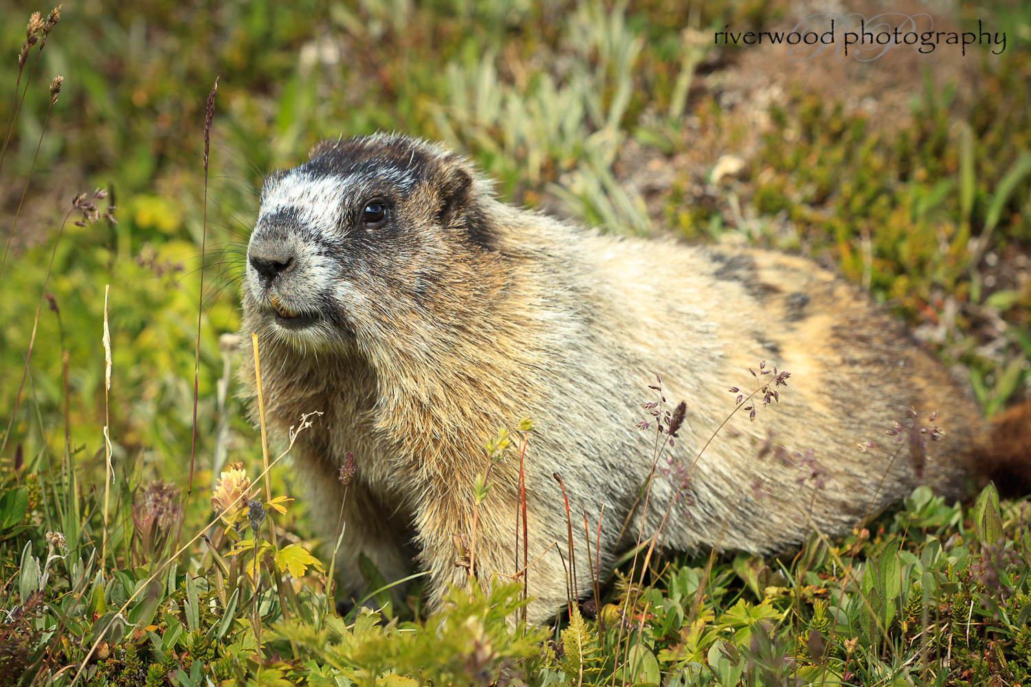 Hoary Marmot near Lake Helen