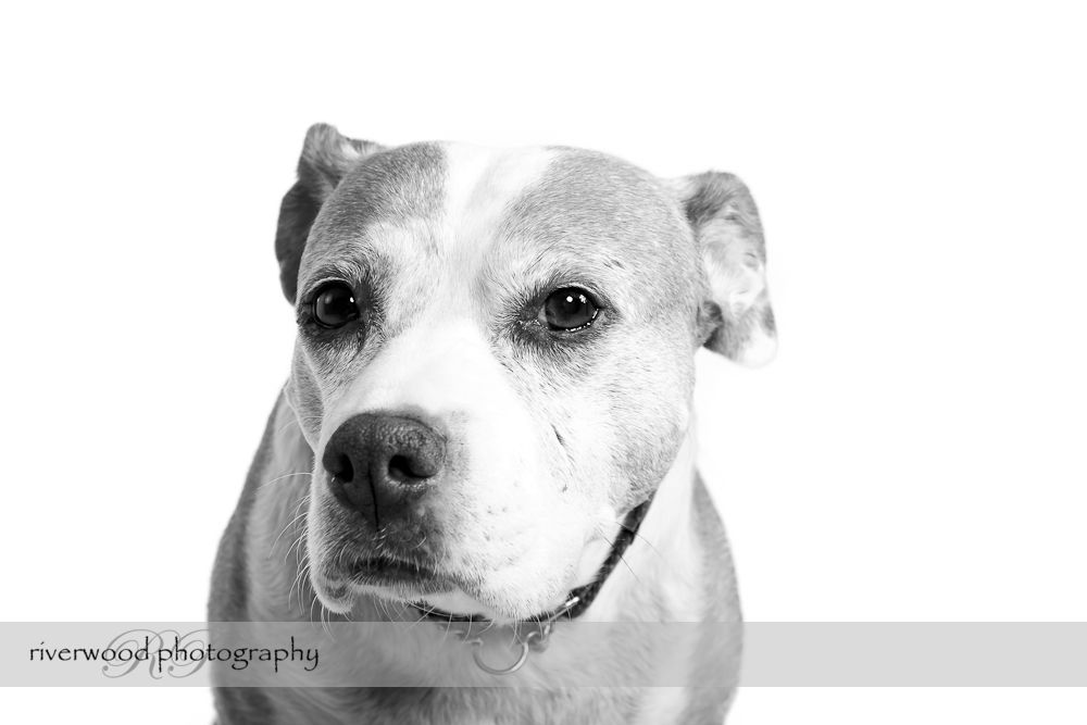 Bella the Staffordshire Terrier