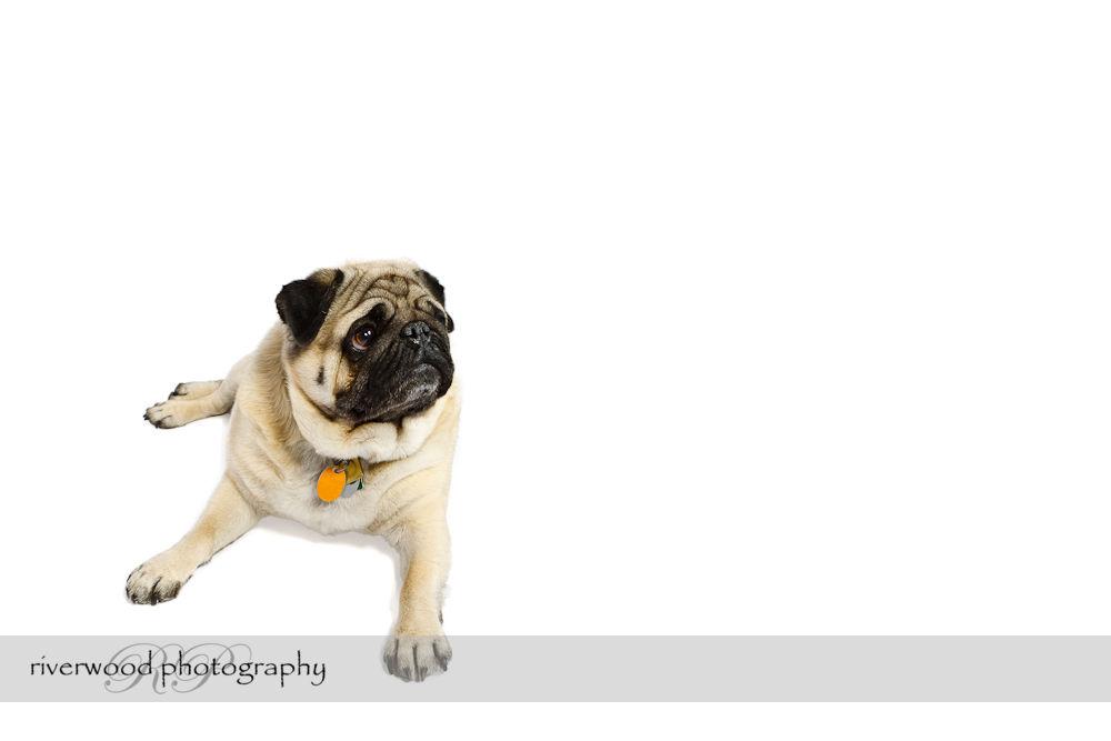 Earl the Pug