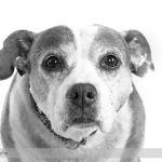 Pet Portrait of Bella the Staffordshire Terrier