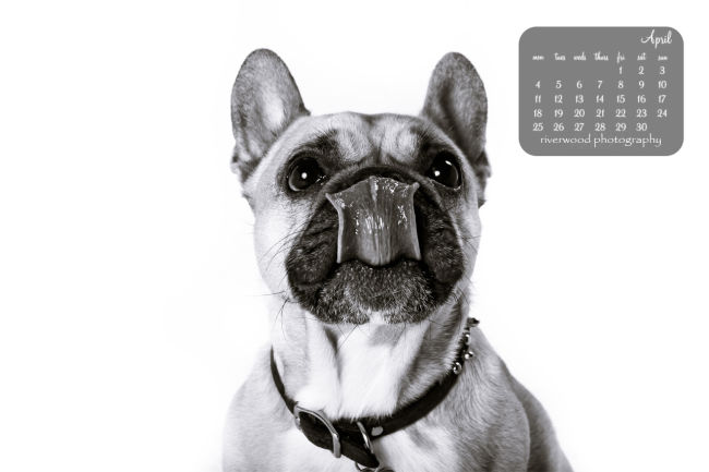 Free Desktop Wallpaper from Riverwood Photography | French Bulldog with Lots of Tongue