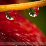 Water Droplets on a Common Orange Lily