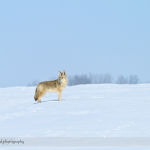 Proud Coyote on the Prairies