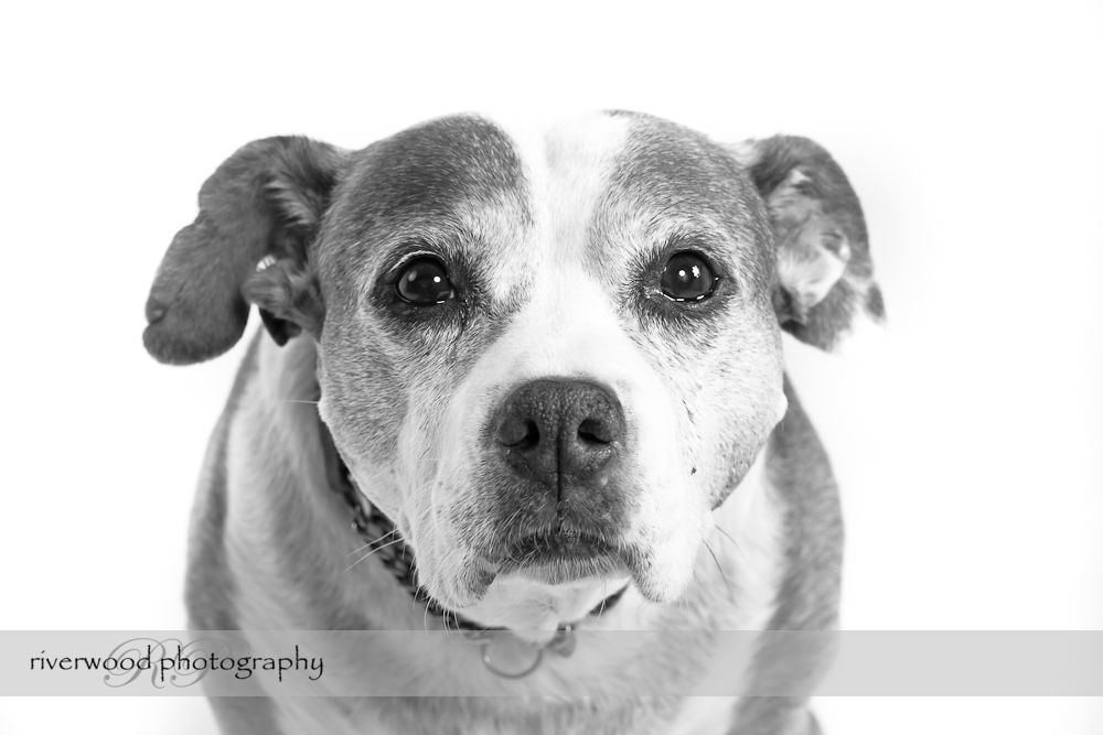 Pet Portrait of Bella the Staffordshire Terrier