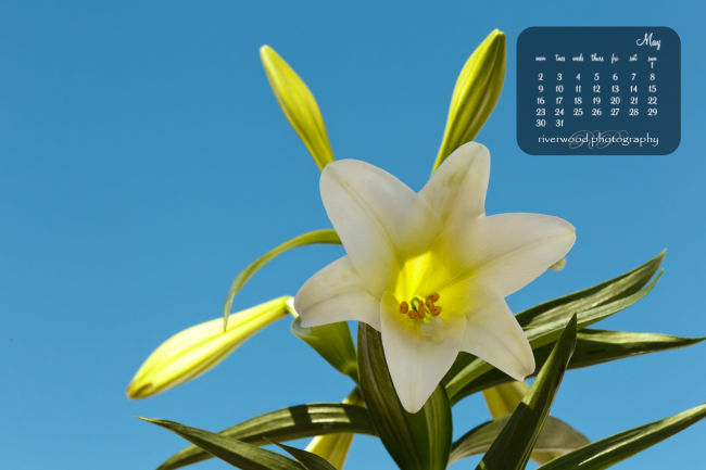 Free Desktop Wallpaper for May 2011 - Easter Lily