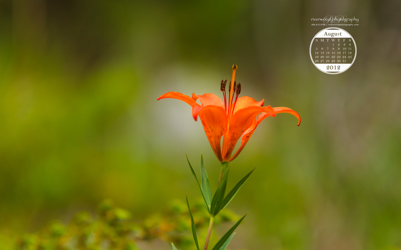 Free Desktop Wallpaper for August 2012 - Common Orange Daylily