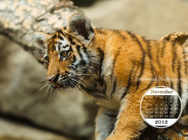 Free Desktop Wallpaper for November 2012 - Tiger Cub at the Calgary Zoo