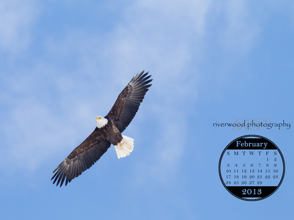 Adult Bald Eagle Soaring High Overhead