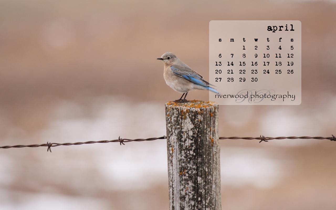 Free Desktop Wallpaper for March 2014 - Mountain Bluebird