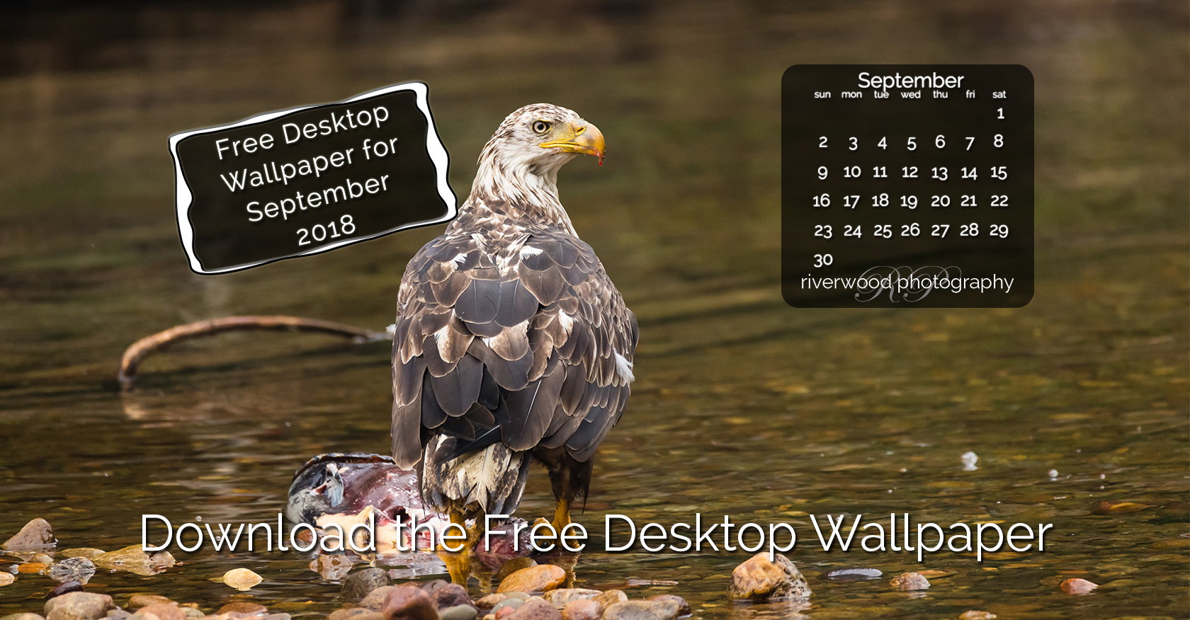 Free Desktop Wallpaper for September 2018 – Juvenile Bald Eagle