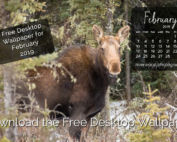 Moose at West Bragg Creek