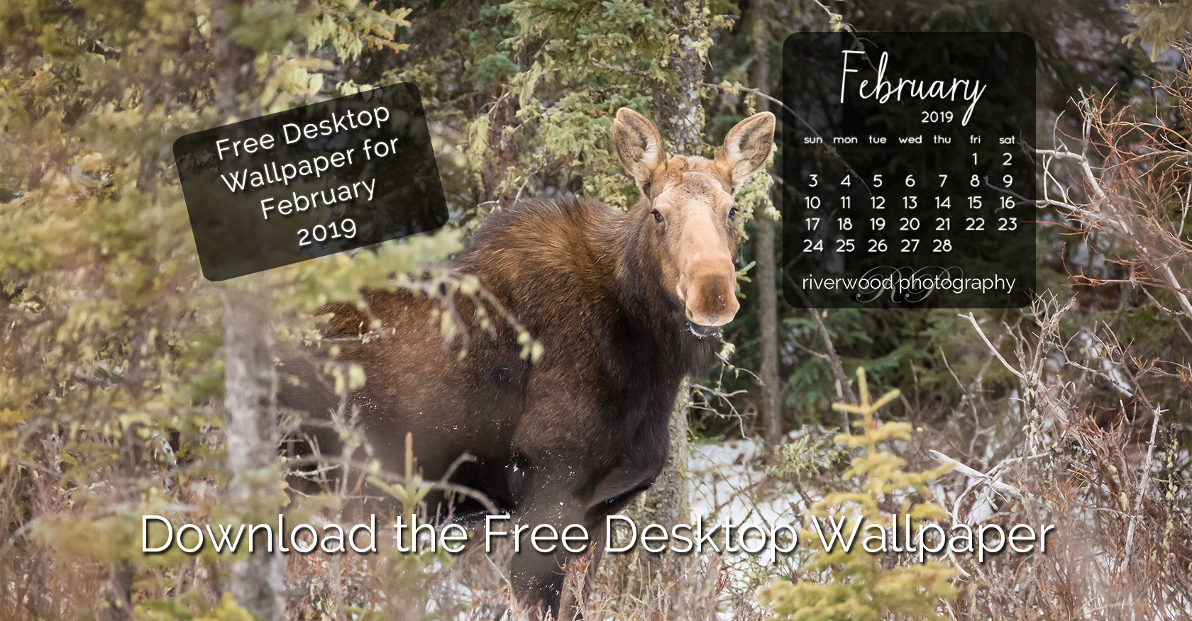 Free Desktop Wallpaper for February 2019 – Bragg Creek Moose