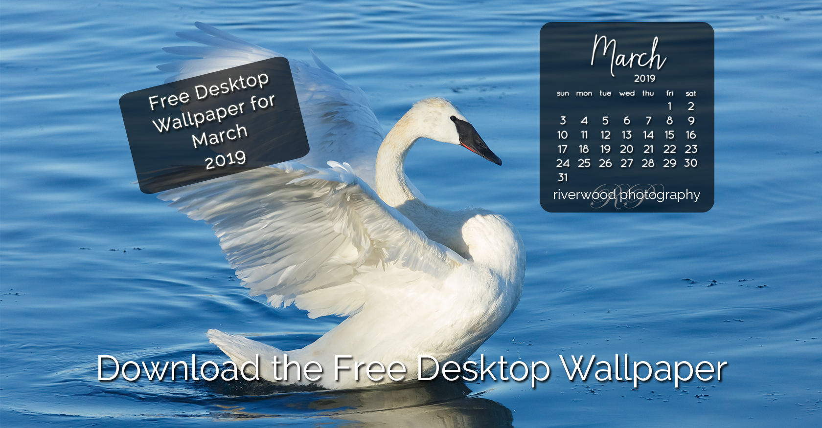 Free Desktop Wallpaper for March 2019 – Trumpeter Swan
